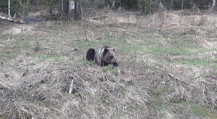 Появилось видео с медведями, которых ухтинцы встретили на опушке