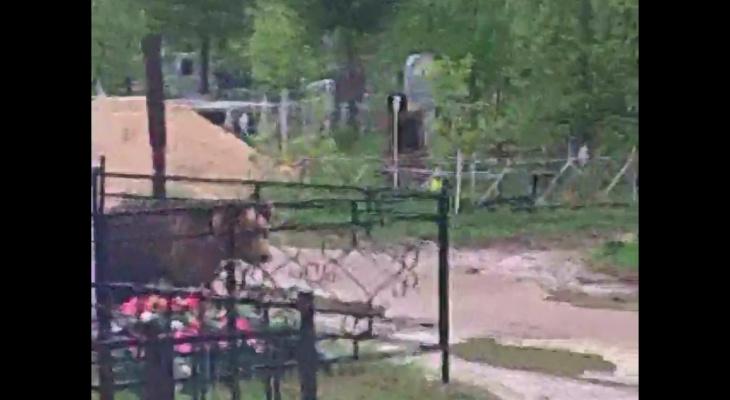 В Коми медведь разрыл свежую могилу покойника
