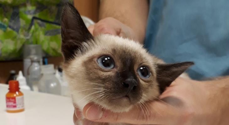 В Ухте пристраивают девять породистых кошек, которые чуть не погибли