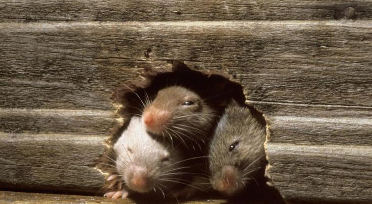 Как избавиться от крыс, которые заполонили весь дом?