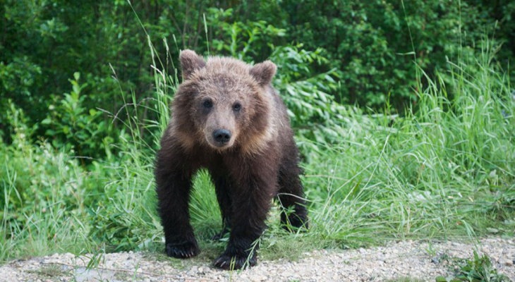 В Коми застрелят не уснувшего на зиму медведя