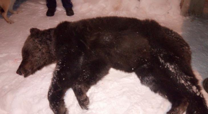 Медведя, раскопавшего могилу в Ухте, отстрелили