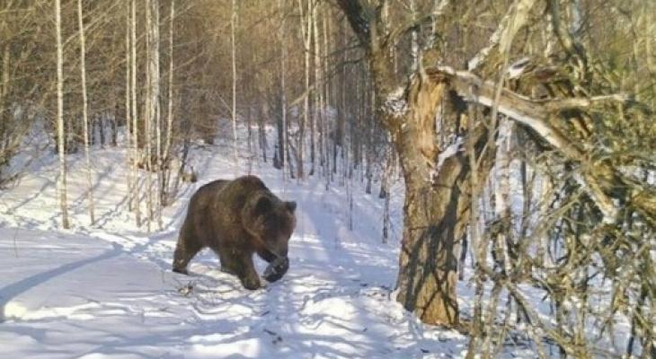 В Ухте на место пребывания медведя шатуна выедут инспекторы