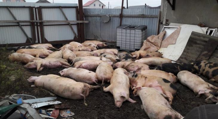 Власти Коми пытаются контролировать распространение африканской чумы свиней