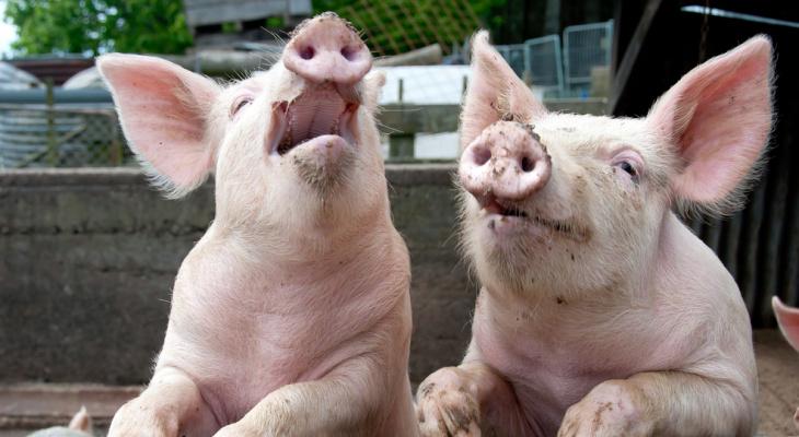В Коми фермерам выплатят 5 миллионов рублей за изъятых свиней