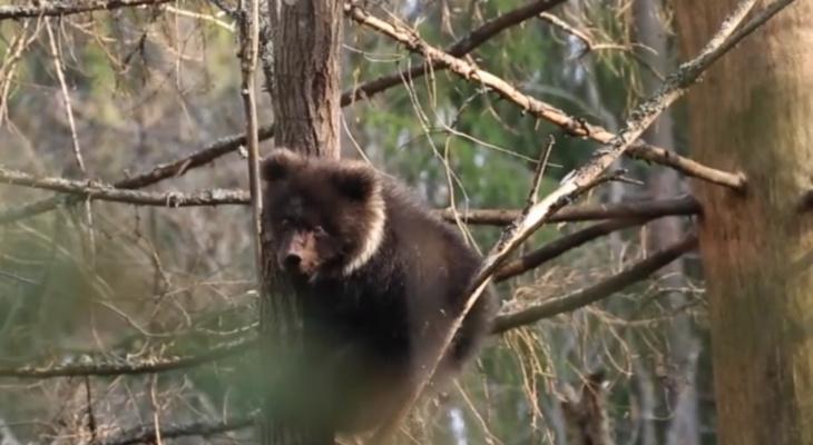 Медведица Пужа из Коми после долгой спячки вернулась к cвое активной жизни