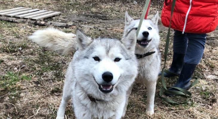 В Коми, в лесу бросили целую упряжку хасок на растерзание волкам